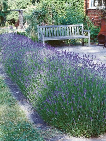 Hedge Herb How To plant and maintain a Lavender hedge. Great for the edge of a patio s shown here.
