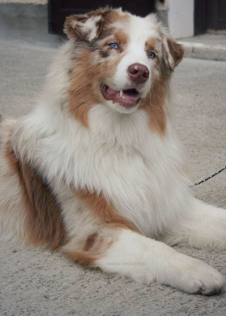 Australian Shepherd Red Merle, David should get a dog like this.