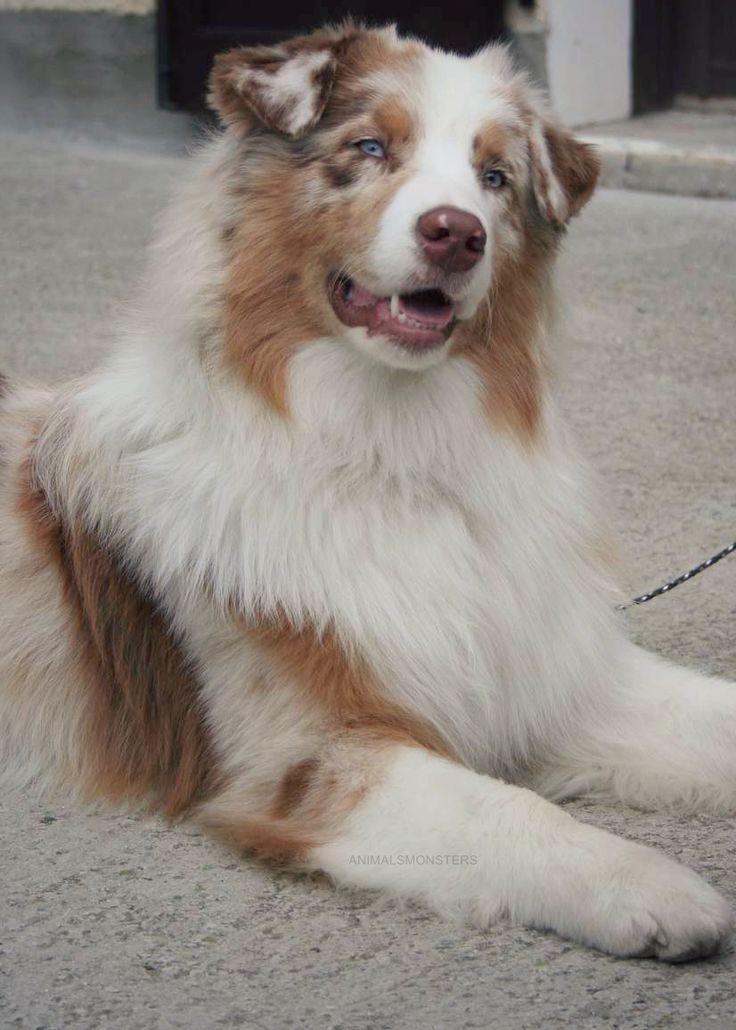 Australian Shepherd Red Merle, David should get a dog like this.
