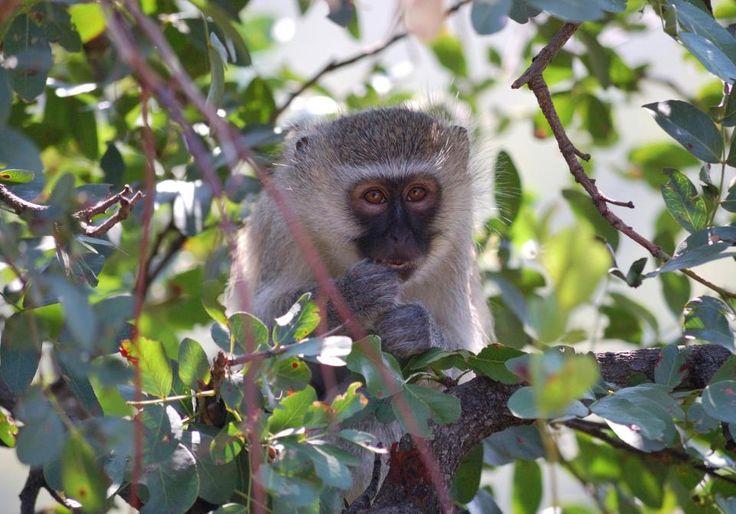 Vervet monkey. #EpicEnabled