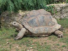 Geochelone gigantea tortuga gigante de Ronaldo o tortuga de Aldabra, vive en el archipiélago de las islas Seychelles, ha sido introducida por el hombre en Tanzania. Los machos pueden llegar a pesar hasta 250 kg, pueden llegar a vivir 165 años.