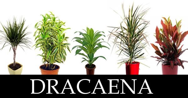 Dracaena : Plant of ' first choice ' for indoor gardens - Plant Talk - NurseryLive Wikipedia