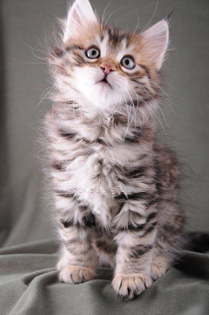 Brown Spotted Tabby Siberian Kitten Boswer