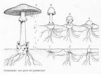 Paddestoel - groei van spore tot paddestoel