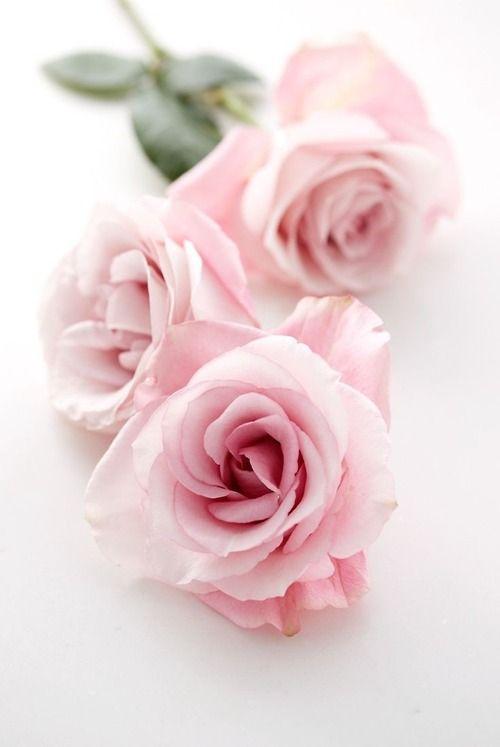 rosecottage.quenalbertini2: Beautiful roses | luna mi angel