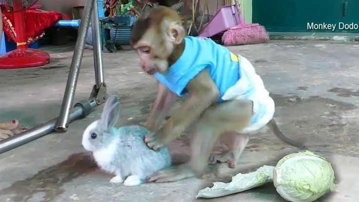 Baby Monkey Dodo Love And Be Best Friend With Cutest Baby Rabbit     #BabyMonkey…