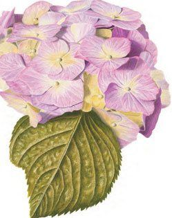 Lovely hydrangea drawing in colored pencils from our newest free eBook on how to draw flowers.