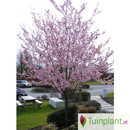 Sierkers op stam, Kerspruim, Prunus 'Nigra' - Tuinplant