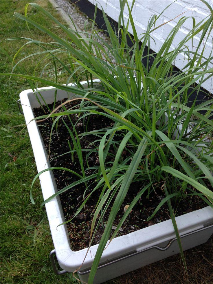 160825 Nu har jag skördat citrongräset och ser fram emot att prova det i helgen.🍋🍋🍋