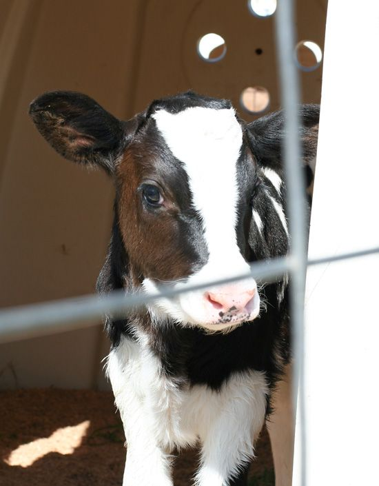 Baby dairy cow!!  Who knew baby cows were this cute??