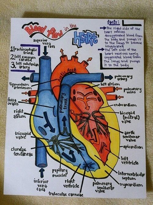 Blood flow through the heart ❤