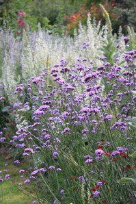 Verbena bonariensis et sauges sclarées. La Romieu (32), Jardin de Coursiana 45