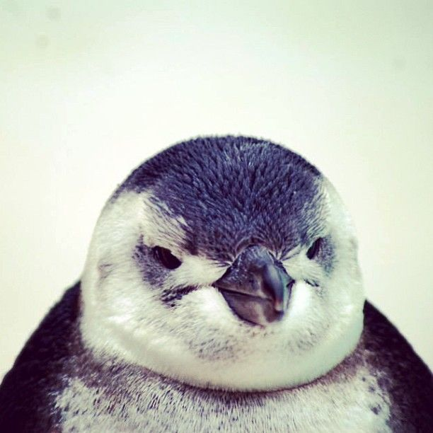 "@moolissa81's photo: ""#blackpoolzoo #penguin #bird"""
