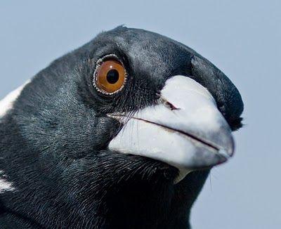 Australian Magpie at Palm Beach