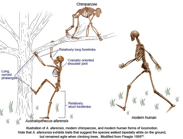an analysis of the evolution of bipedalism for the early hominids An analysis of the femur of one of the and discussions dealing with the evolution of human bipedalism early tree-dwelling bipedal human ancestor was.