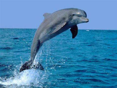 A delfin szimbólum jelentése: életöröm, barátság, kommunikáció, harmónia, egyensúly, játékosság, közösséghez tartozás. A delfin mint szimbólum összeköti az eget és a földet, a Teremtő üzeneteit közvetíti az ember felé. *http://orokseg.wordpress.com/minek-a-jelkepe-a-delfin/