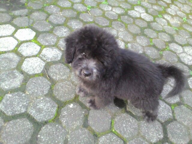 Puppy dog black cute adorable innocent  Jambrong