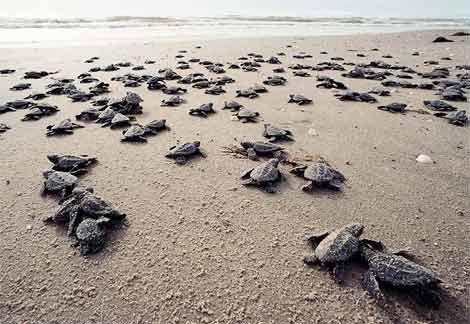 Watching baby turtles make their way to sea