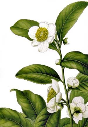 tea plant drawing | Botanical Illustration of Camellia sinensis from Köhler's Medizinal ...