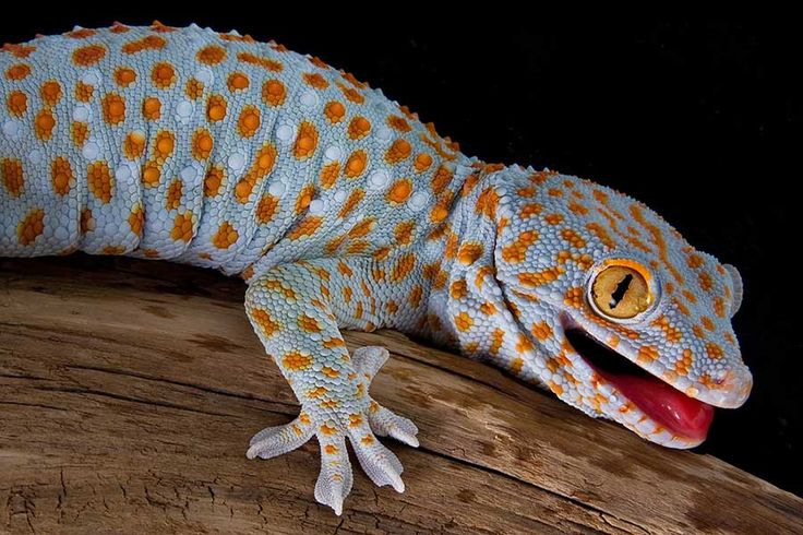 Lizard species profile page Tokay Gecko