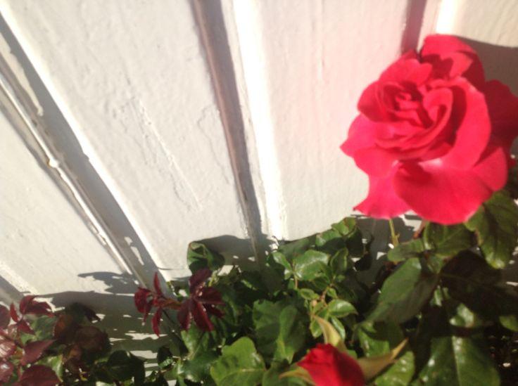 Romanze rose