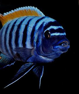 Words on a Page: Malawi Cichlids: a Diet guide