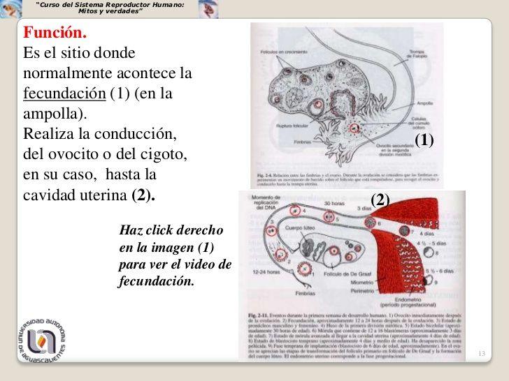"""""""Curso del Sistema Reproductor Humano:             Mitos y verdades""""Función.Es el sitio dondenormalmente acontece lafecund..."""