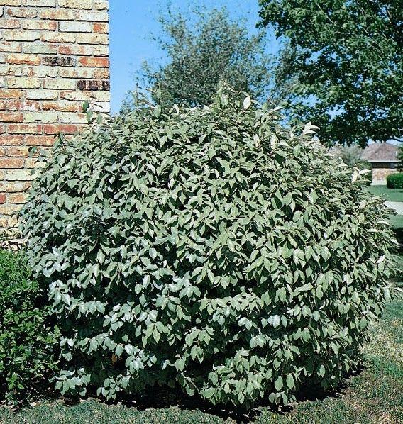Fruitland Silverberry Monrovia Evergreen 6 10