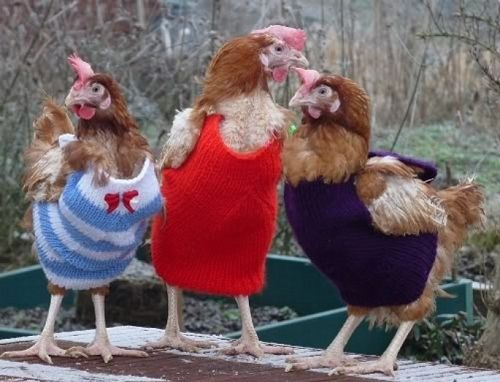 Chickens Wearing Sweaters. Some of these chickens received sweaters as part of a British project to rehabilitate abused battery hens. Others have owners who want warm, stylish pets. Regardless, you really can't go wrong with a sweater. More power to you, chickens.