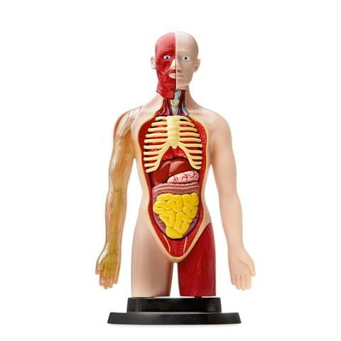 human Torso Set science 29968