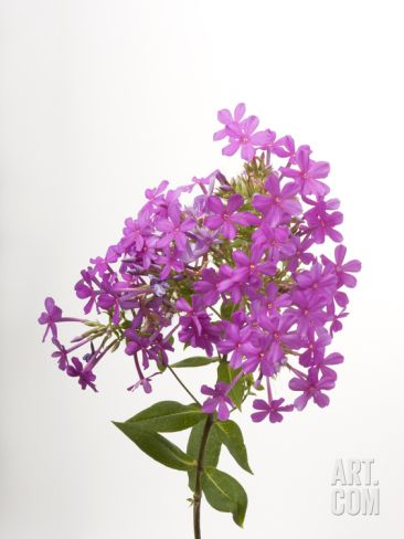 Studio Portrait of Phlox Flowers Photographic Print by Joel Sartore at Art.co.uk