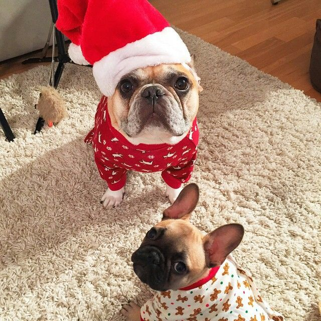 Good Morning America French Bulldog : Images about doggies on pinterest bulldog puppies