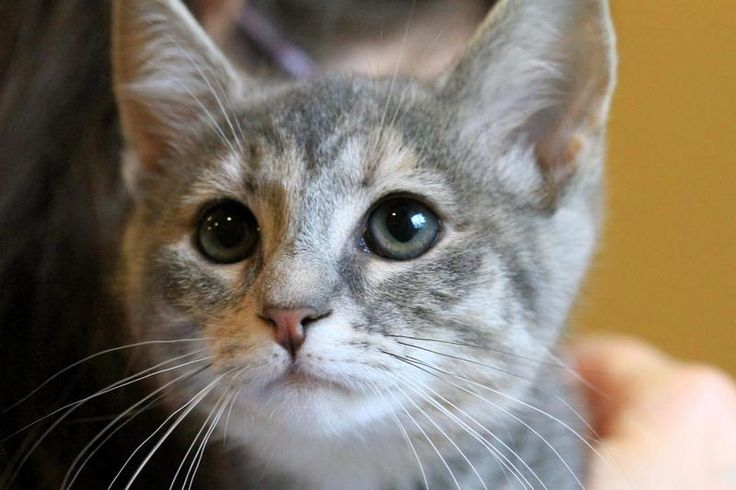 Lovables: Trudy-Tabby - Grey & Tortoiseshell • Baby • Female • Medium.Animal Welfare League of Montgomery County Gaithersburg, MD  I was born in February 2013. House trained • Spayed/Neutered • Shots Current • Primary Color(s): Tabby - Gray, Blue or Silver • Coat Length: Short
