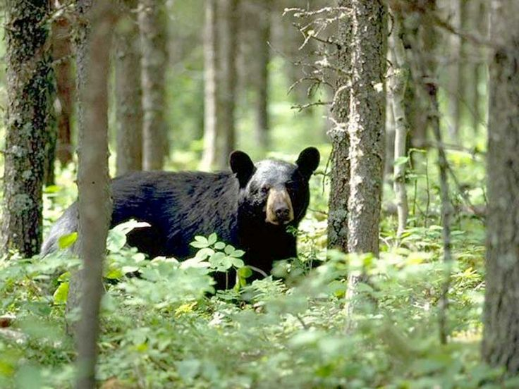 Bear Sanctuaries in Himachal Pradesh, India @ Sanctuariesindia.com