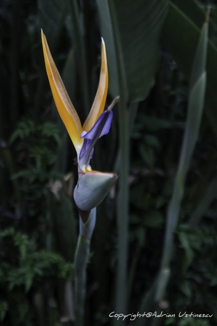 Proud orchid.