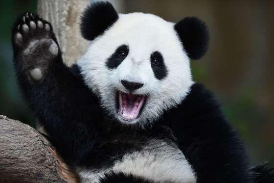 One-year-old female giant panda cub Nuan Nuan reacts inside her enclosure during joint birthday cele... - Mohd Rasfan/AFP/Getty Images