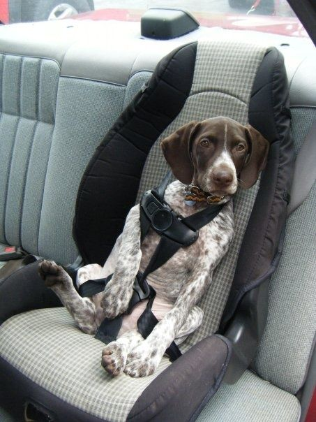 pictures of german shorthair pointer puppies   GERMAN SHORTHAIR POINTERS.. BEST DOGS / ha