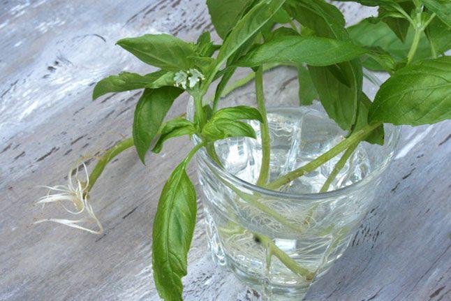 Growing herbs from cuttings: Reroot Plants, Growing Gardens, Gardens Ideas, Diana Bauman, Growing Roots, Growing Herbs, Gardens Flowing Beds, Fresh Herbs, Herbs Gardens