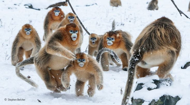 Photographer Stephen Belcher spent a week photographing golden snub-nosed monkeys in a valley in the Zhouzhi Nature Reserve in the Qinling Mountains, China.