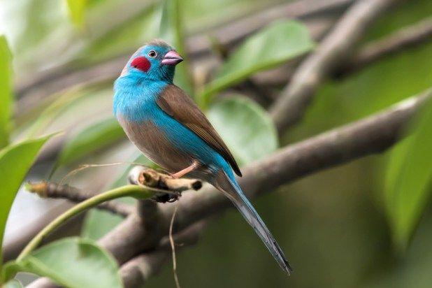 الكوردون الازرق احمر الخدين موضوع شامل عن هذا العصفور الجميل طيور العرب Bird Species Weird Animals Animals