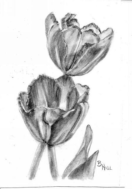 Splendor tulips graphite drawing by Brenda Hill