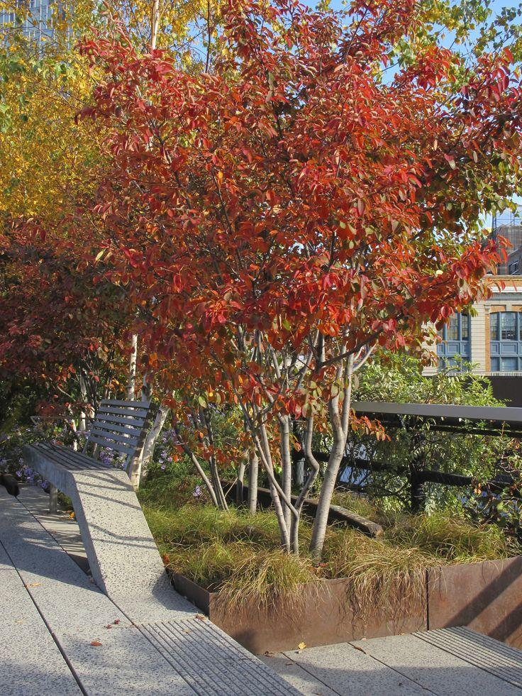Dit is het geweldige herfstbeeld wat je krijg bij de krentenboom; de Amelanchier lamarckii