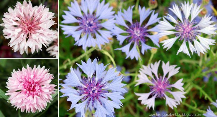 Rose Quartz & Serenity - My flower inspirations. Centaurea