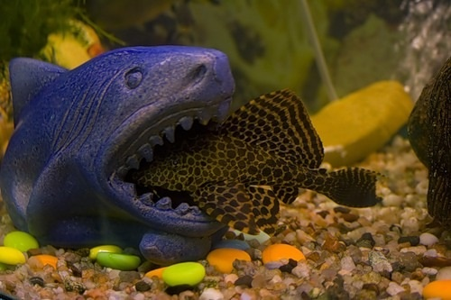 Haha plecostomus pets pinterest for Aquarium sucker fish