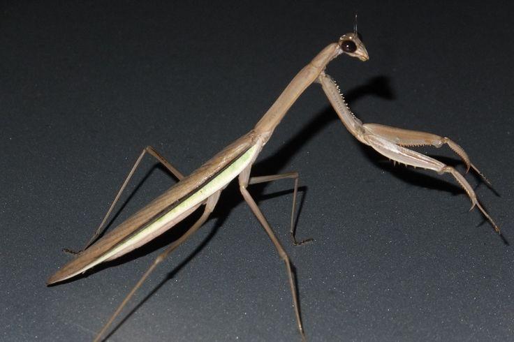 Praying mantis on night prowl