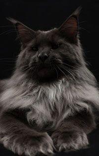 #MaineCoon #BlueSmoke #Cats
