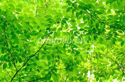 新緑の葉-写真素材
