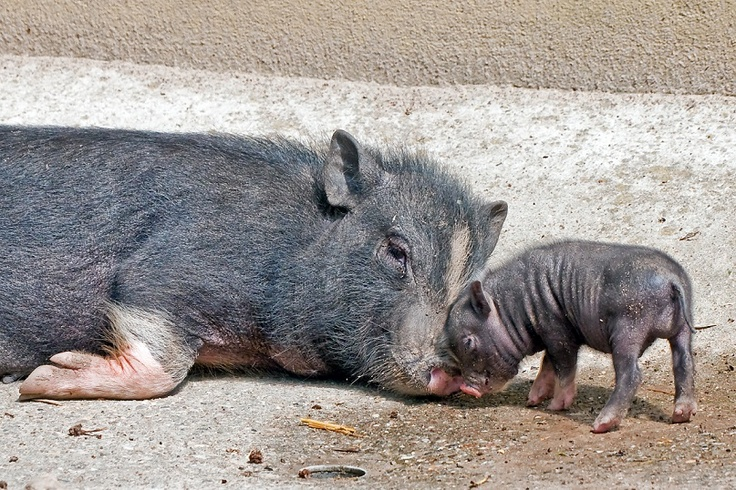 Baby pot-bellied pig at German Zoo...