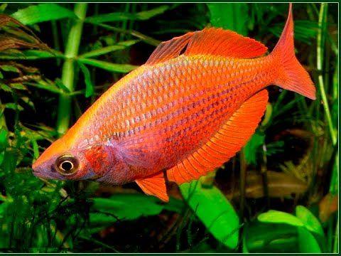 красивая аквариумная рыбка, Радужница Многоштриховая Melanotaenia multis...
