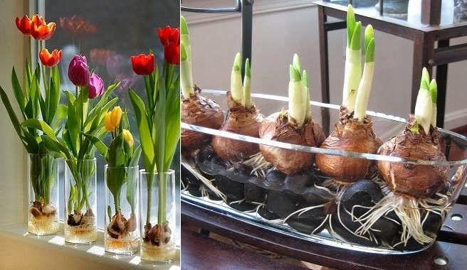 Invernación de los tulipanes. Cómo plantar tulipanes dentro de casa. Como Mola!!!